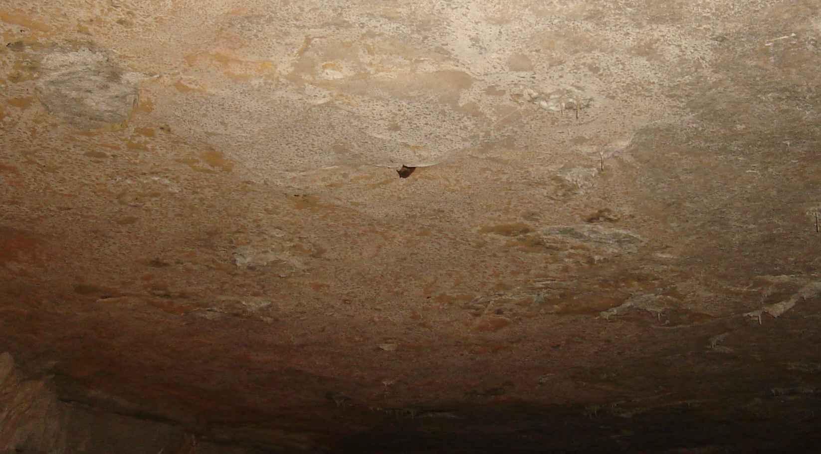 Smallin Cave bat