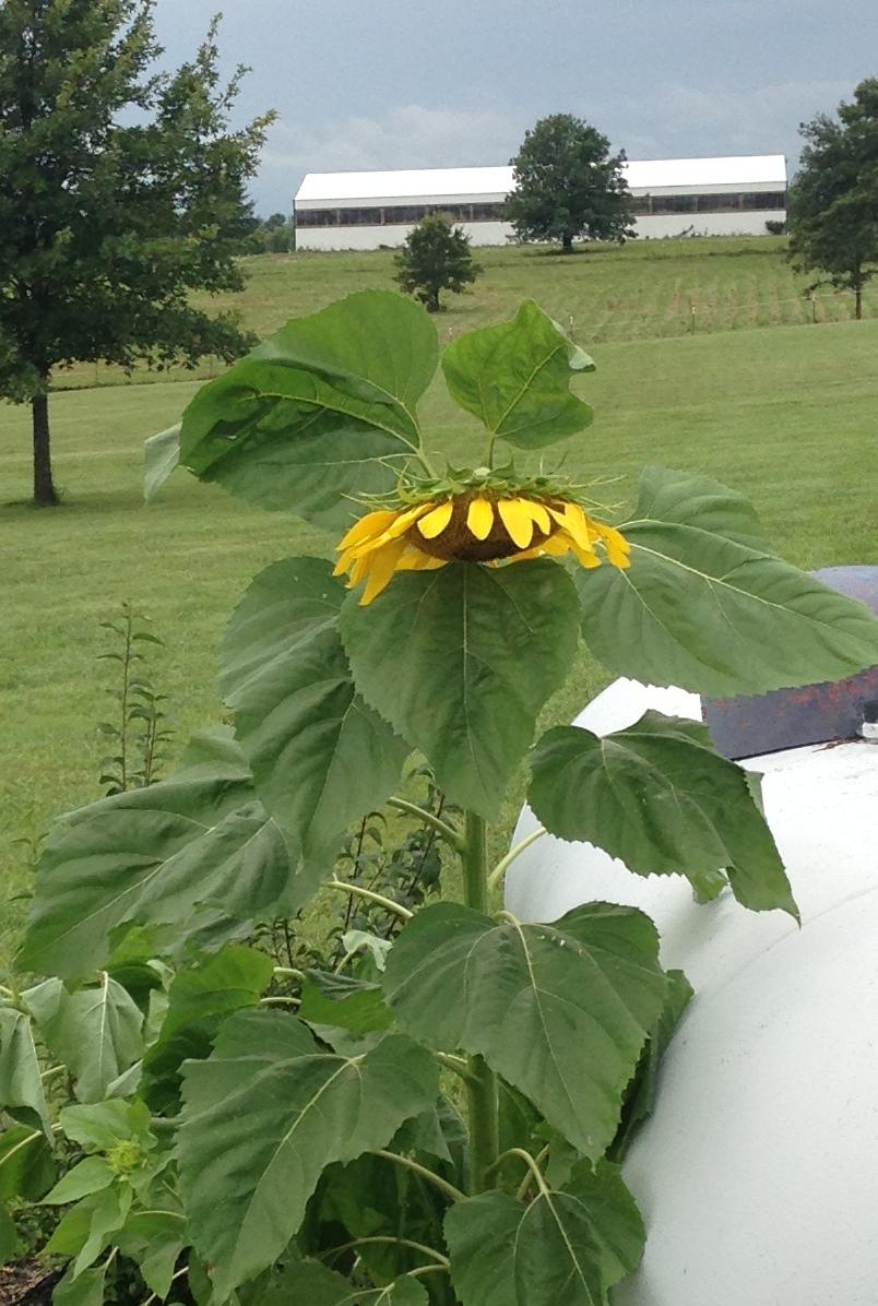 The shamed sunflower